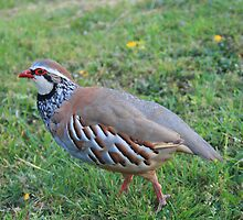 Red Legged Partridge by Dave Godden