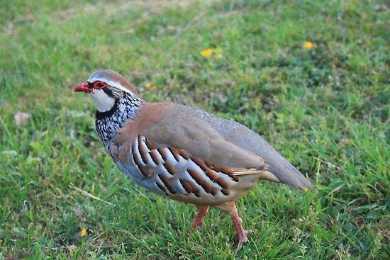 Red Legged Partridge by Dave Godden