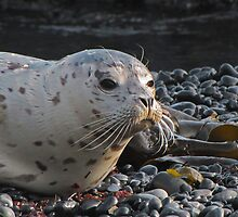 Seal Pup Waiting For Mom by CarrieAnn