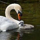 Connection, male mute swan and chick, Barrow Navigation, County Carlow, Ireland by Andrew Jones