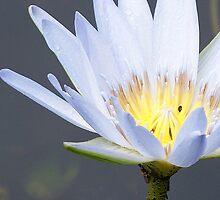 Solitary white beauty by soulwhisperer