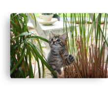 Jimmie Maui Kitten Canvas Print