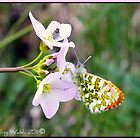 Male Orangetip Butterfly  by Aisling Walsh