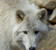 Arctic Wolf by Jinx13