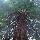 Inland Sequoia Tree, Victoria, B.C. by RonnieGinnever