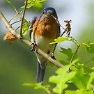 Mr. Bluebird Builds a Nest by Caren
