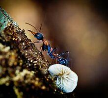 Jumper Ant, Jumping Jack - Myrmecia nigrocincta by Normf