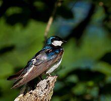 Tree Swallow Sitting Pretty  by John Absher