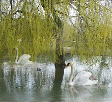 Swans on Lake  by Ann Persse
