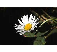 White Daisy Growing  Photographic Print