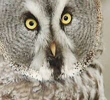 Great Grey Owl by Lindie