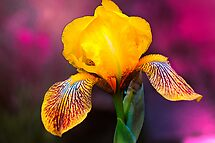 Yellow Iris by LudaNayvelt