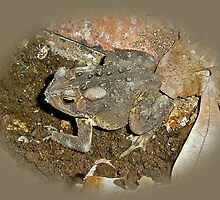 Common Toad - Bufo americanus by MotherNature