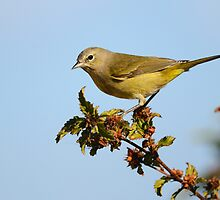 Orange-crowned Warbler by Tom Dunkerton