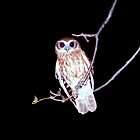 Barking Owl at Night, Northern Territory, Australia  by Carole-Anne