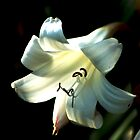 Queen Lily by loiteke