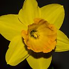 Single Daffodil by Paulscho