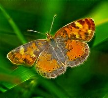 Pearl Crescent by Bill Morgenstern