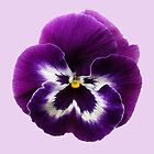 Purple Pansy by Sarah Couzens
