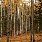 Aspen Trees. by mikepemberton