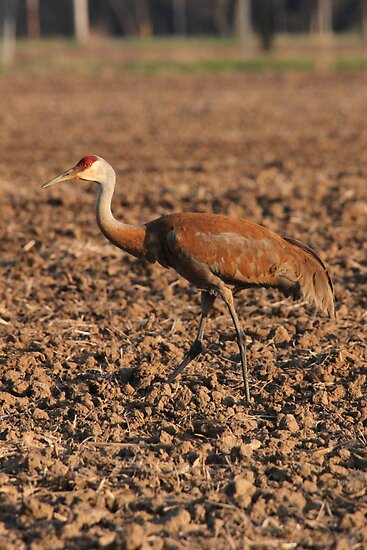 Sandhill Crane in Field by Thomas Murphy
