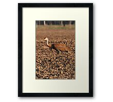 Sandhill Crane in Field Framed Print