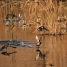 Ring Necked Ducks. by mikepemberton