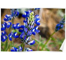 Lupine in Montana Poster
