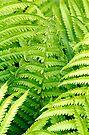 Ferns - Dunrobin Ontario by Debbie Pinard