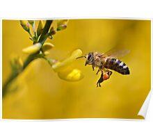 Honeybee (Apis mellifera) Poster