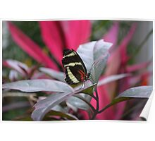 The Postman Butterfly, posing on a leaf Poster