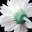 A Single White Gerbera Daisy by Jennifer Hulbert-Hortman