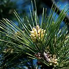 Pine Cones, Someday by Barry Doherty