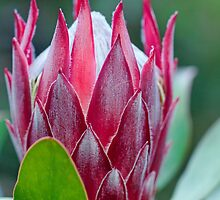 Perfect Protea by jayneeldred