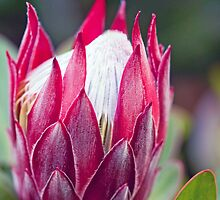 Perfect Protea II by jayneeldred