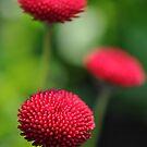 Three red daisies by Denitsa Dabizheva