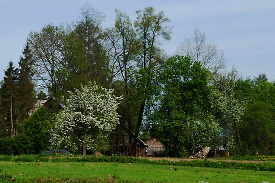 Spring in old farmstead (white bloom) by Antanas