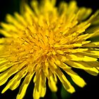 Dandelion Flower by onyonet photo studios