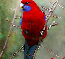 Crimson Rosella by Robert  Welsh