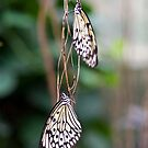Butterflies at Wisley by Melanie Simmonds