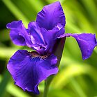 Purple Iris - New York Botanical Garden by caitsings