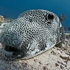 Up close &amp; personal - a giant pufferfish by shellfish