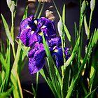 Iris Delight2 by John Taylor
