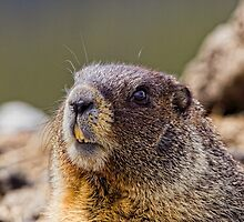 It's Marmot Season by Jay Ryser