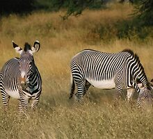 Zebra / Samburu National Park by Dean Cunningham