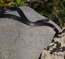 black rat snake, Riserva Naturale di Vendicari, Sicily, Italy by Andrew Jones