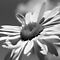 Daisy in Black and White by Debbie Pinard