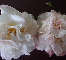 Two Pink and White Camellias. by Maureen Dodd