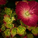 Deep magenta hydrangea by Celeste Mookherjee