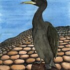 214 - SHAG (PHALACROCORAX ARISTOTELIS) - DAVE EDWARDS - INK & WATERCOLOUR - 2008 by BLYTHART